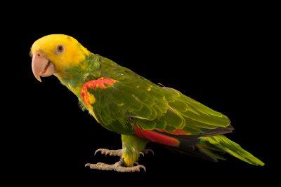 Photo: Western yellow headed amazon (Amazona oratrix oratrix) at Loro Parque Fundacion.