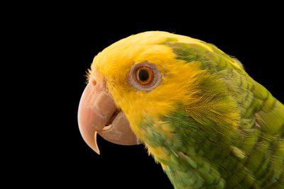 Photo: Belize yellow headed amazon (Amazona oratrix beliziensis) at Loro Parque Fundacion.