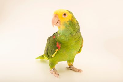 Photo: Belize yellow headed amazon (Amazona oratrix beliziensis) at Loro Parque Fundacion.