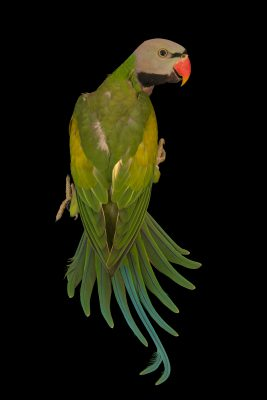 Photo: Moustached parakeet (Psittacula alexandri abbotti) at Loro Parque Fundacion.