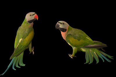 Photo: Moustached parakeets (Psittacula alexandri abbotti) at Loro Parque Fundacion.