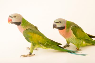 Photo: Moustached parakeets (Psittacula alexandri abbotti) at Loro Parque Fundacion.