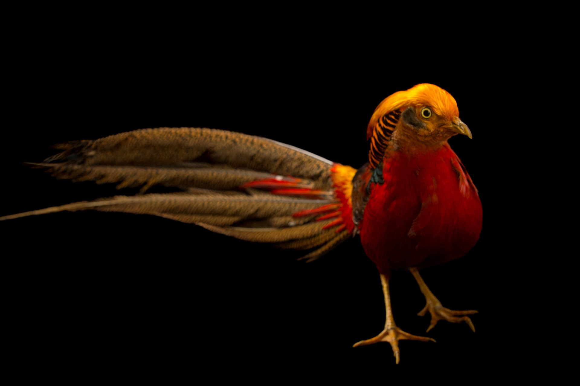 Photo: A male golden pheasant (Chrysolophus pictus) at Padmaja Naidu Himalayan Zoological Park.