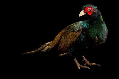 Photo: Tenebrosus pheasant (Phasianus colchicus var. (mut.) tenebrosus, at Padmaja Naidu Himalayan Zoological Park.