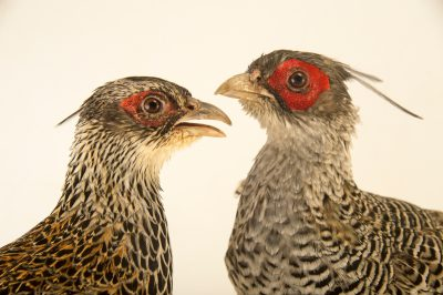 Photo: A male and female Cheer pheasant (Catreus wallichii) at the Conservation Breeding Center for Pheasants and Herbivores in Kurseong, West Bengal, India.