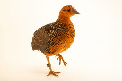 Photo: A ferruginous partridge (Caloperdix oculeus ocellatus) at Taman Mini Indonesia Indah.