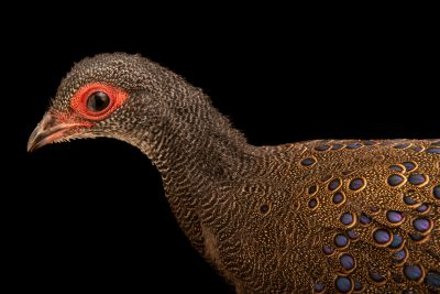 Photo: A Germain's peacock-pheasant (Polyplectron germaini) at Pheasant Heaven.