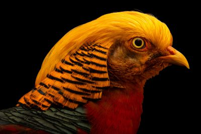 Photo: A male Golden pheasant (Chrysolophus pictus) at Pheasant Heaven.