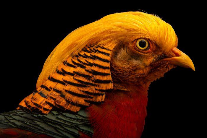 Photo: A male Golden pheasant (Chrysolophus pictus) at Pheasant Heaven.