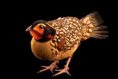 Photo: A male cabot tragopan (Tragopan caboti) at Pheasant Heaven.