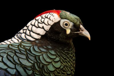 Photo: A male Lady Amherst's pheasant (Chrysolophus amherstiae) at Pheasant Heaven.