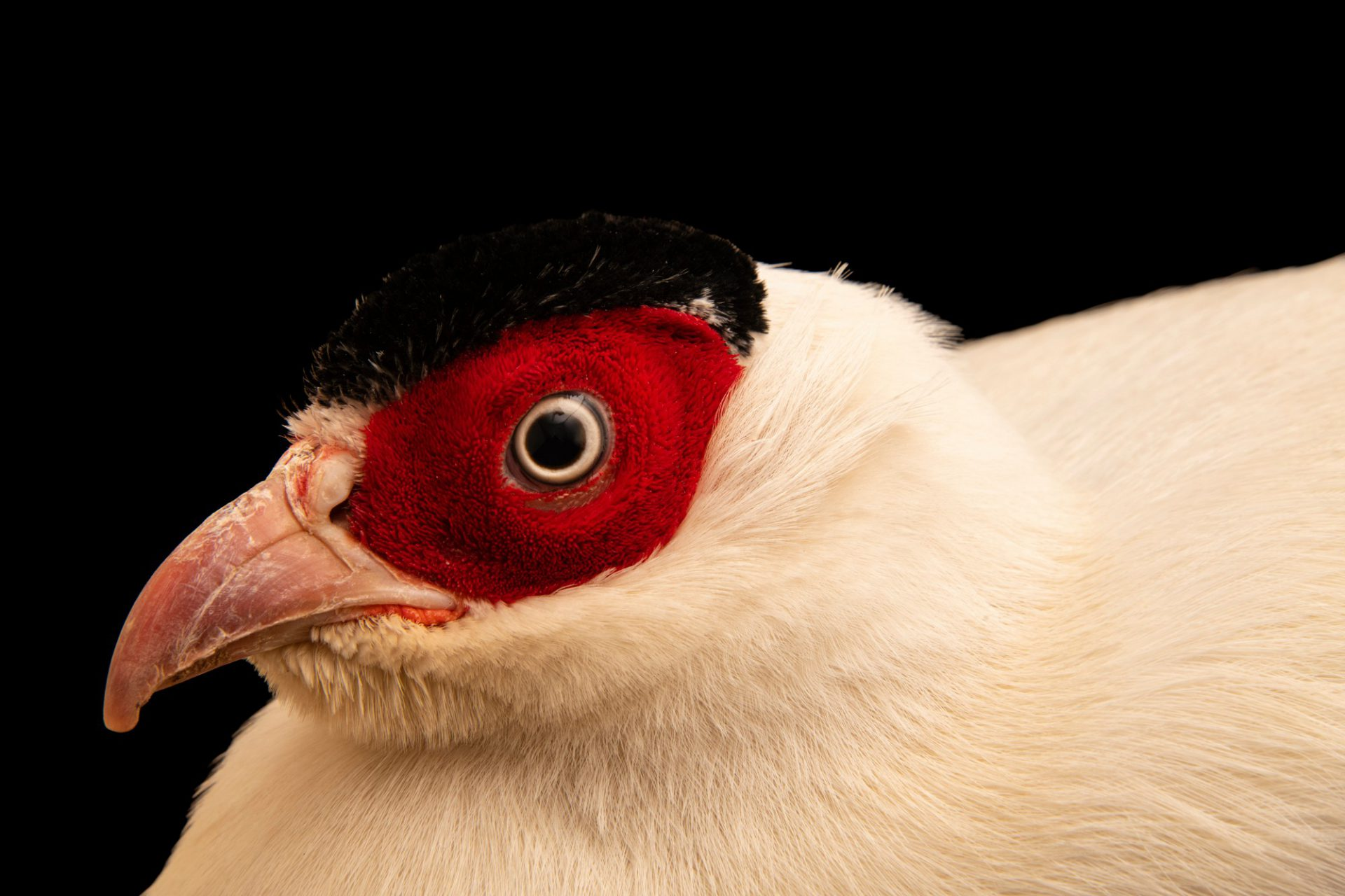 Photo: A male white-eared pheasant (Crossoptilon crossoptilon drouyni) at Pheasant Heaven.