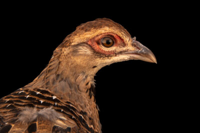 Photo: A federally endangered, juvenile, female, Elliot's pheasant (Syrmaticus ellioti) at Tierpark.