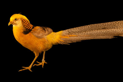 Photo: A golden pheasant (Chrysolophus pictus) from a private collection.