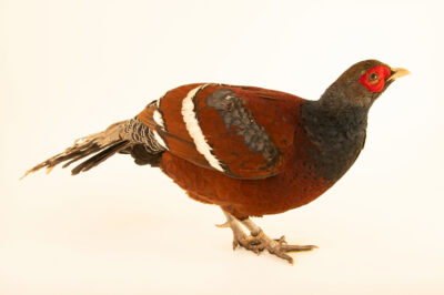 Photo: A Mrs. Hume's pheasant (Syrmaticus humiae humiae) from a private collection.