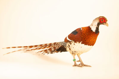 Photo: A male Elliot's pheasant (Syrmaticus ellioti) at Tierpark Berlin.