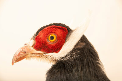 Photo: A blue eared-pheasant (Crossoptilon auritum) at Tierpark Berlin.