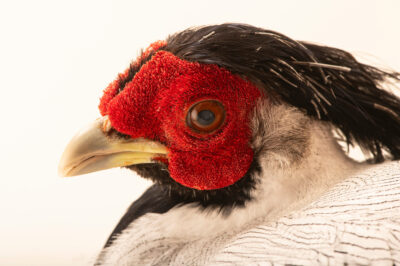 Photo: A Berlioz's silver pheasant (Lophura nycthemera berliozi) at Tierpark Berlin.