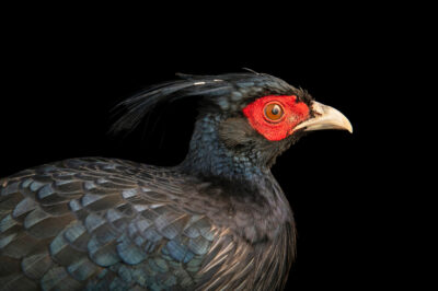 Photo: A male black kalij pheasant (Lophura leucomelanos moffitti) at a private collection.