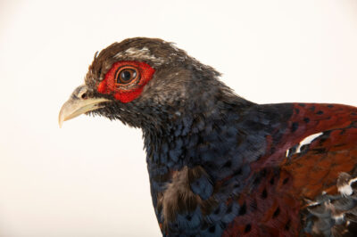 Photo: A male Mrs. Hume's pheasant (Syrmaticus humiae humiae) at a private collection.