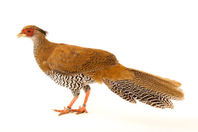 Photo: A female, Berlioz's silver pheasant (Lophura nycthemera berliozi) at a private collection.
