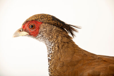 Photo: A female Berlioz's silver pheasant (Lophura nycthemera berliozi) at a private collection.
