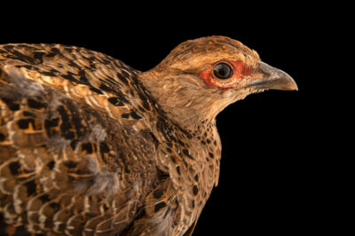 Photo: A female Mrs. Hume's pheasant (Syrmaticus humiae humiae) at a private collection.