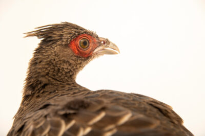 Photo: A female black kalij pheasant (Lophura leucomelanos moffitti) at a private collection.