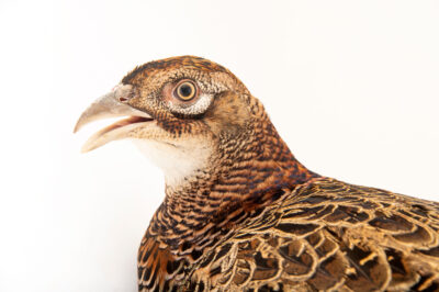 Photo: A female South Caucasus pheasant (Phasianus colchicus colchicus) at a private collection.