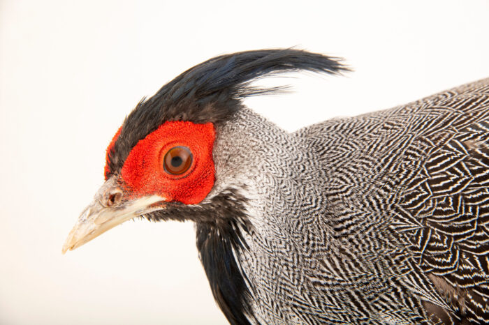 Photo: A male Crawfurd's kalij pheasant (Lophura leucomelanos crawfurdi) at a private collection.