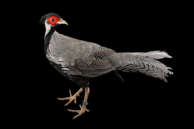 Photo: A male lineated pheasant (Lophura leucomelanos lineata) at a private collection.
