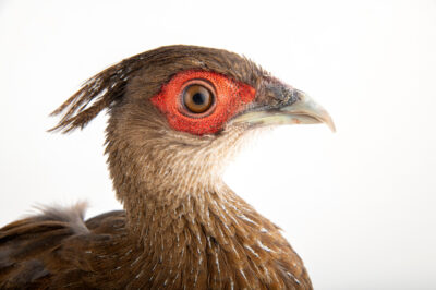 Photo: A female lineated pheasant (Lophura leucomelanos lineata) at a private collection.