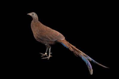 Photo: A male bronze-tailed peacock-pheasant (Polyplectron chalcurum chalcurum) at a private collection.