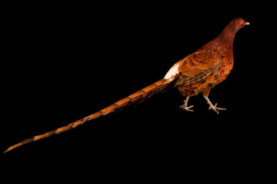 Photo: A male Ijima's copper pheasant (Syrmaticus soemmerringii ijimae) from a private collection.