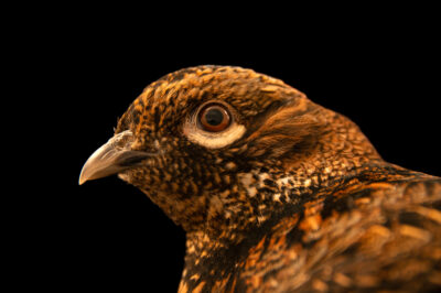 Photo: A female Ijima's copper pheasant (Syrmaticus soemmerringii ijimae) from a private collection.