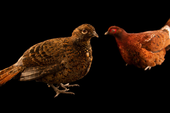 Photo: A pair of Ijima's copper pheasants (Syrmaticus soemmerringii ijimae) from a private collection.