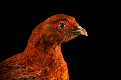 Photo: A male Soemmerring's copper pheasant (Syrmaticus soemmerringii soemmerringii) from a private collection.