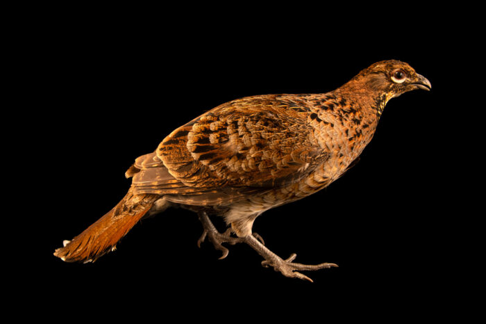 Photo: A female Soemmerring's copper pheasant (Syrmaticus soemmerringii soemmerringii) from a private collection.