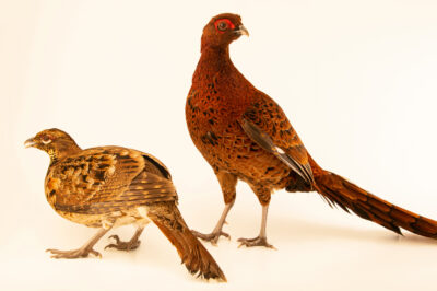 Photo: A pair of Soemmerring's copper pheasants (Syrmaticus soemmerringii soemmerringii) from a private collection.