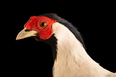 Photo: A male true silver pheasant (Lophura nycthemera nycthemera) from a private collection.