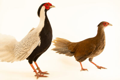 Photo: A pair of true silver pheasants (Lophura nycthemera nycthemera) from the private collection.