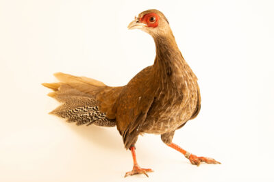 Photo: A female true silver pheasant (Lophura nycthemera nycthemera) from a private collection.
