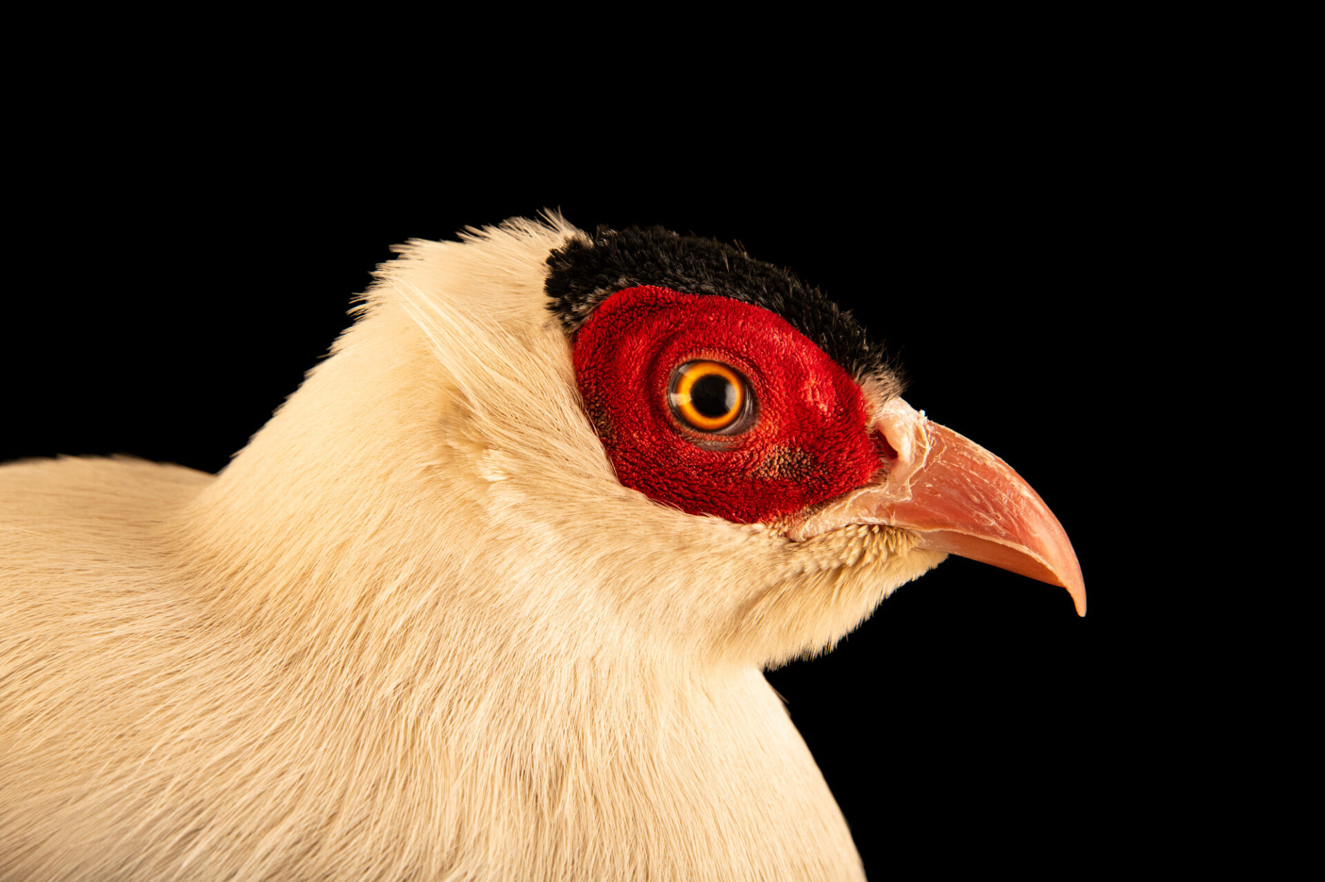 Photo: A male Szechuan white eared pheasant (Crossoptilon crossoptilon crossoptilon) from a private collection.