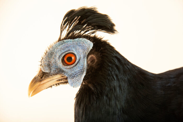 Photo: A male Delacour's crested fireback (Lophura ignita macartneyi) from a private collection.