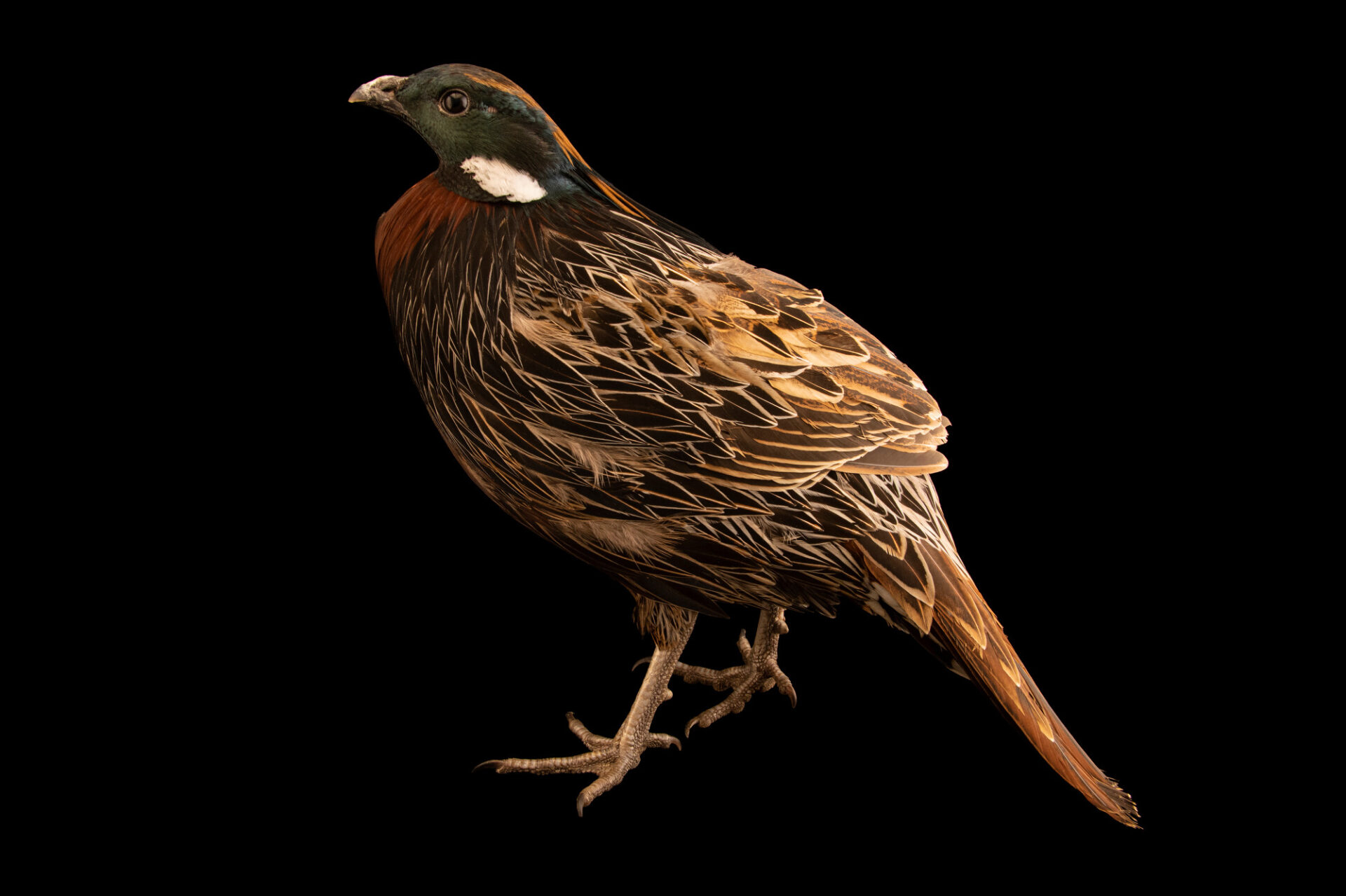 Photo: A male Kashmir koklass pheasant (Pucrasia macrolopha biddulphi) from a private collection.