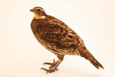 Photo: A female Kashmir koklass pheasant (Pucrasia macrolopha biddulphi) from a private collection.
