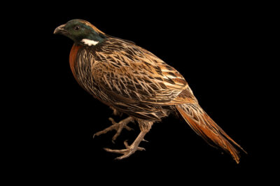 Photo: A male Nepal koklass pheasant (Pucrasia macrolopha nipalensis) from a private collection.