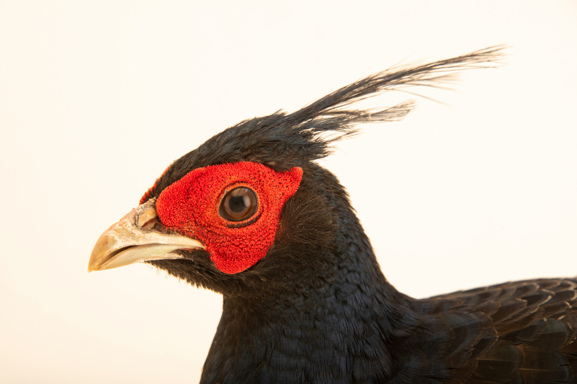 Photo: A male Horsfield's kalij pheasant (Lophura leucomelanos lathami) from a private collection.