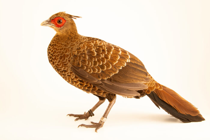 Photo: A female Horsfield's kalij pheasant (Lophura leucomelanos lathami) from a private collection.