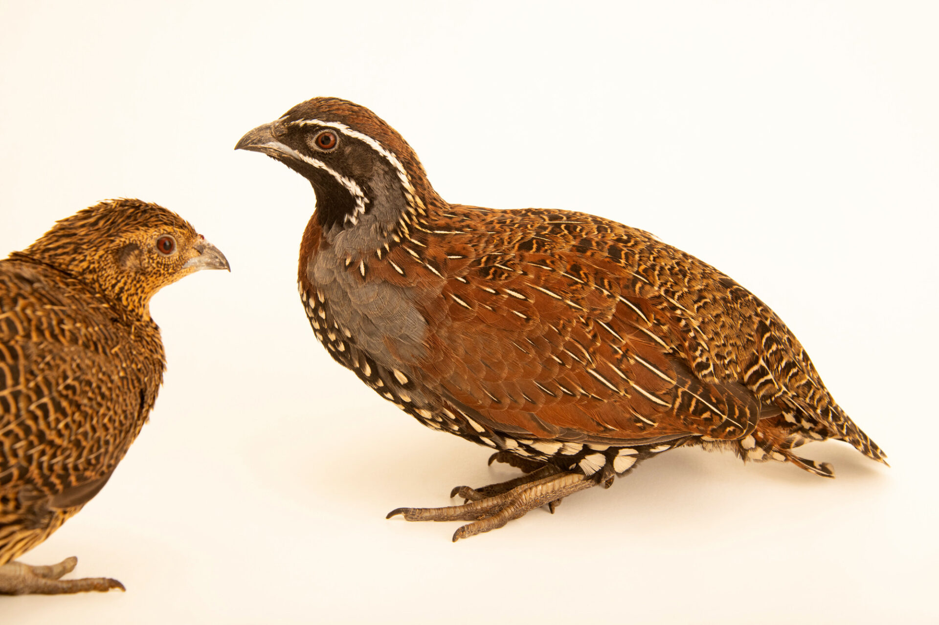 Photo: A pair of Madagascar partridges (Margaroperdix madagarensis) from a private collection.